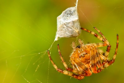 brown orb weaver hanging on web spider zoom background
