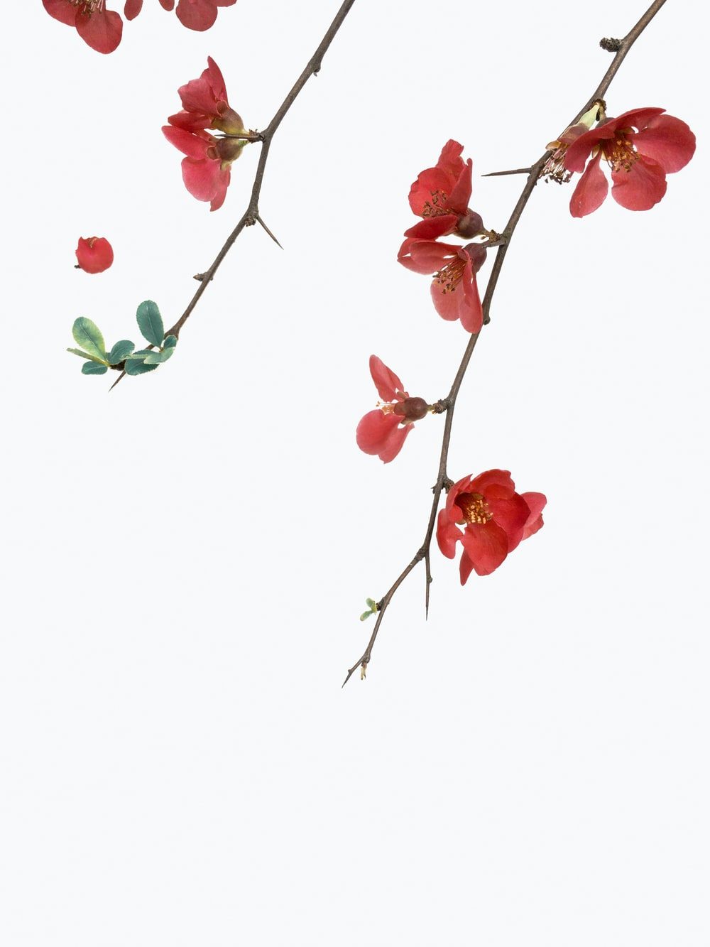 red petaled flowers with white background