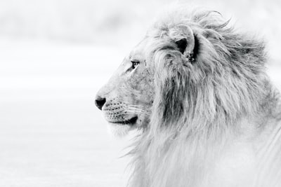 grayscale photo of lion lion zoom background