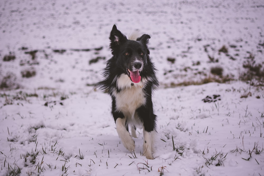 closeup photo of adult white and black dog running on snow field