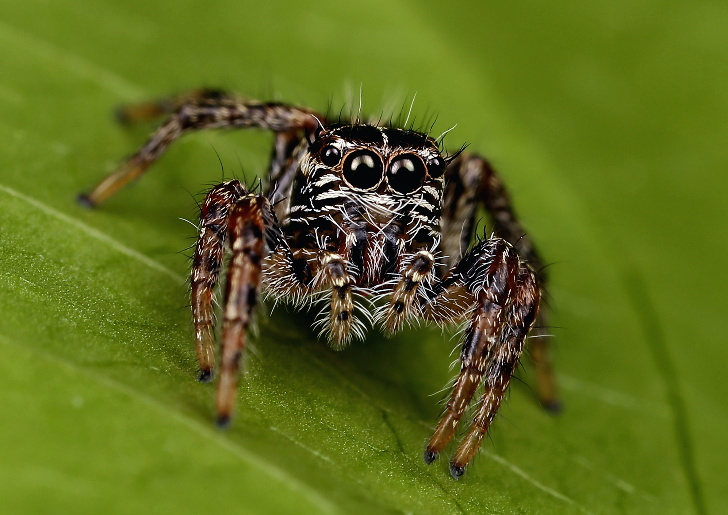 closeup photo of brown and black spider on leaf
