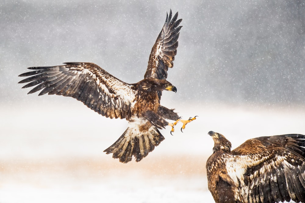 two brown eagles