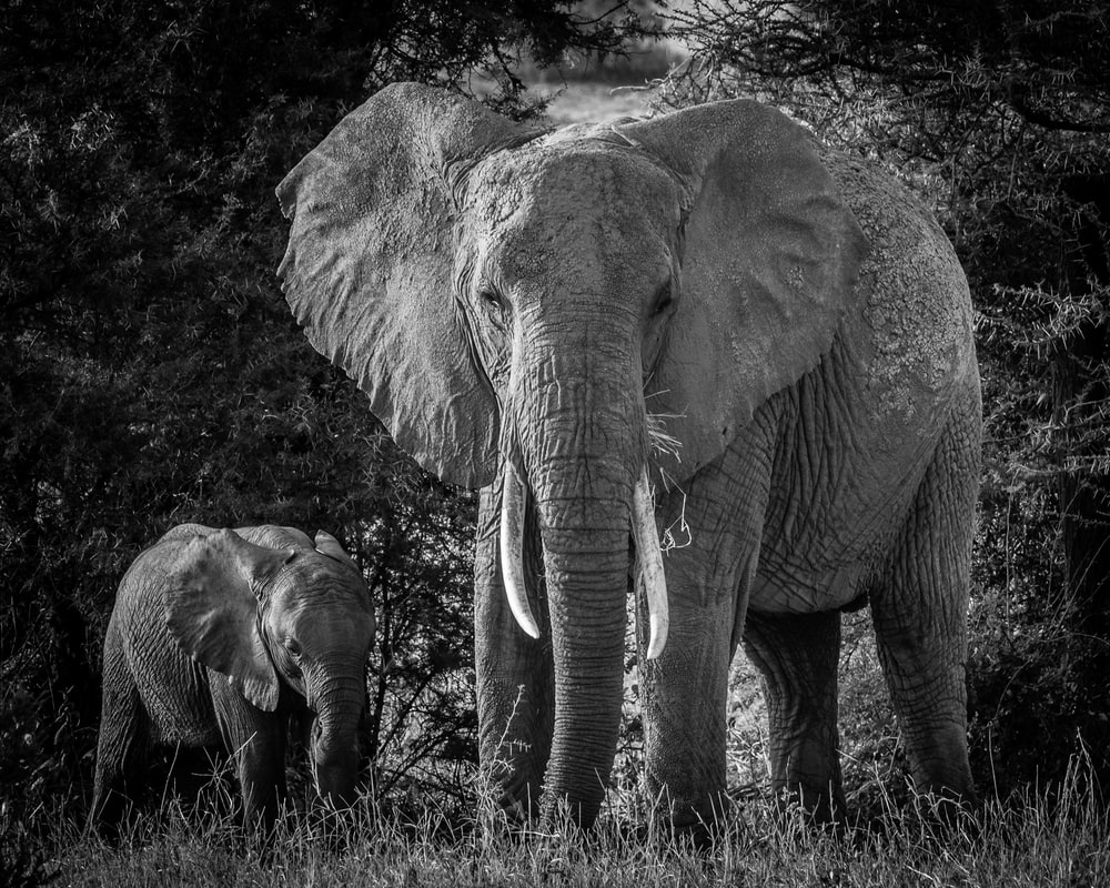grayscale photography of two elephants