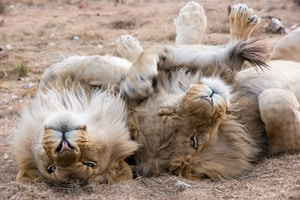 two lions lying on ground