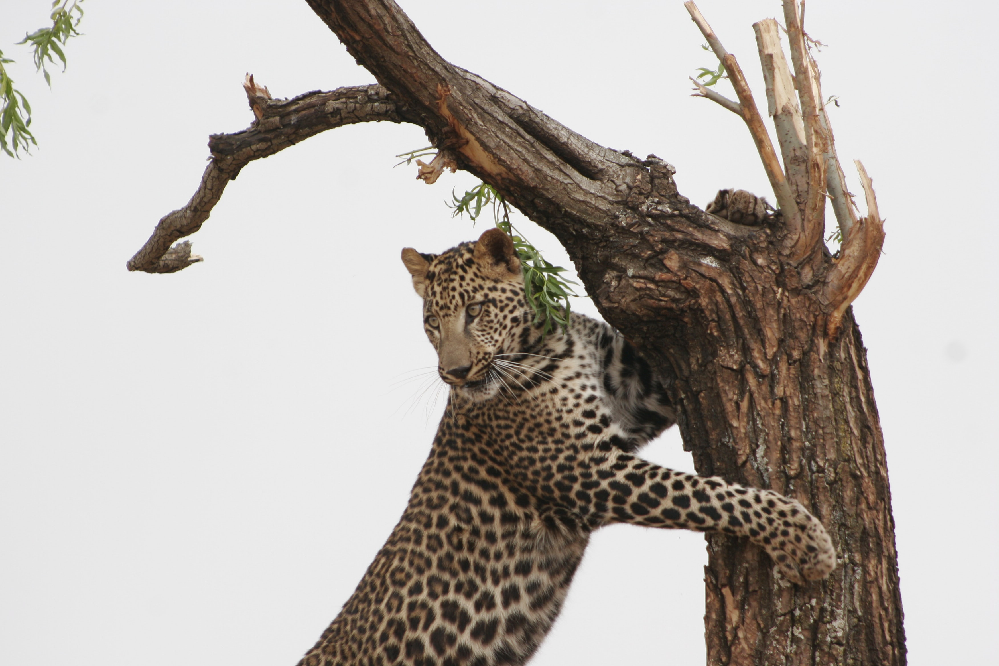 leopard on top of tree