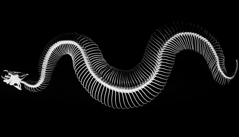 closeup photo of snake skeleton
