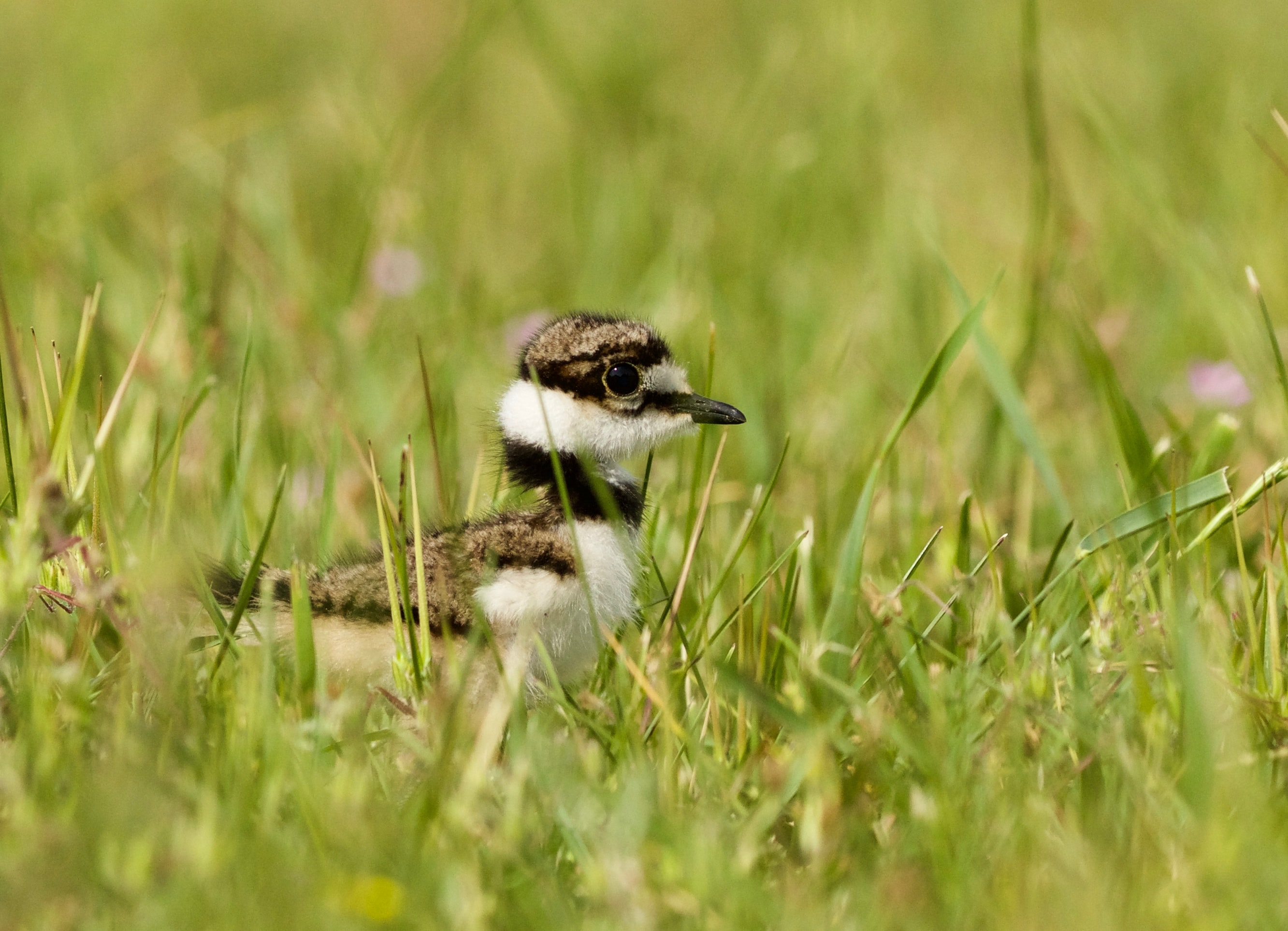 white and brown bird on green grass