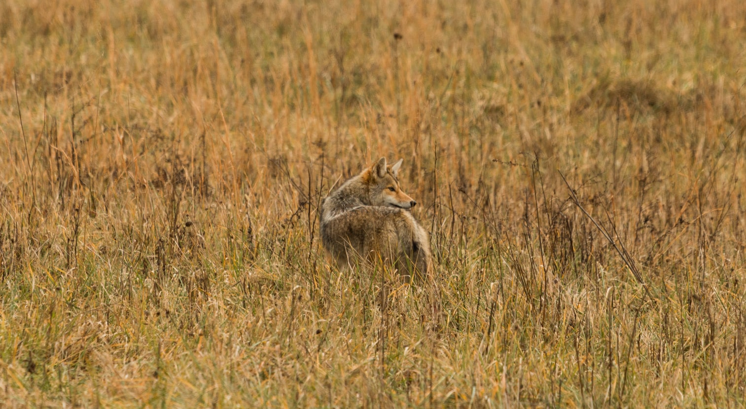 Coyotes Can Protect Your Livestock From Predators