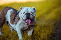 bulldog standing on grass