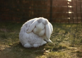 white rabbit on lawn