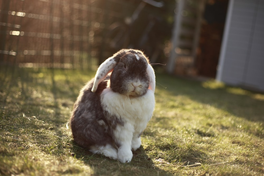 white and gray rabbit with ears down