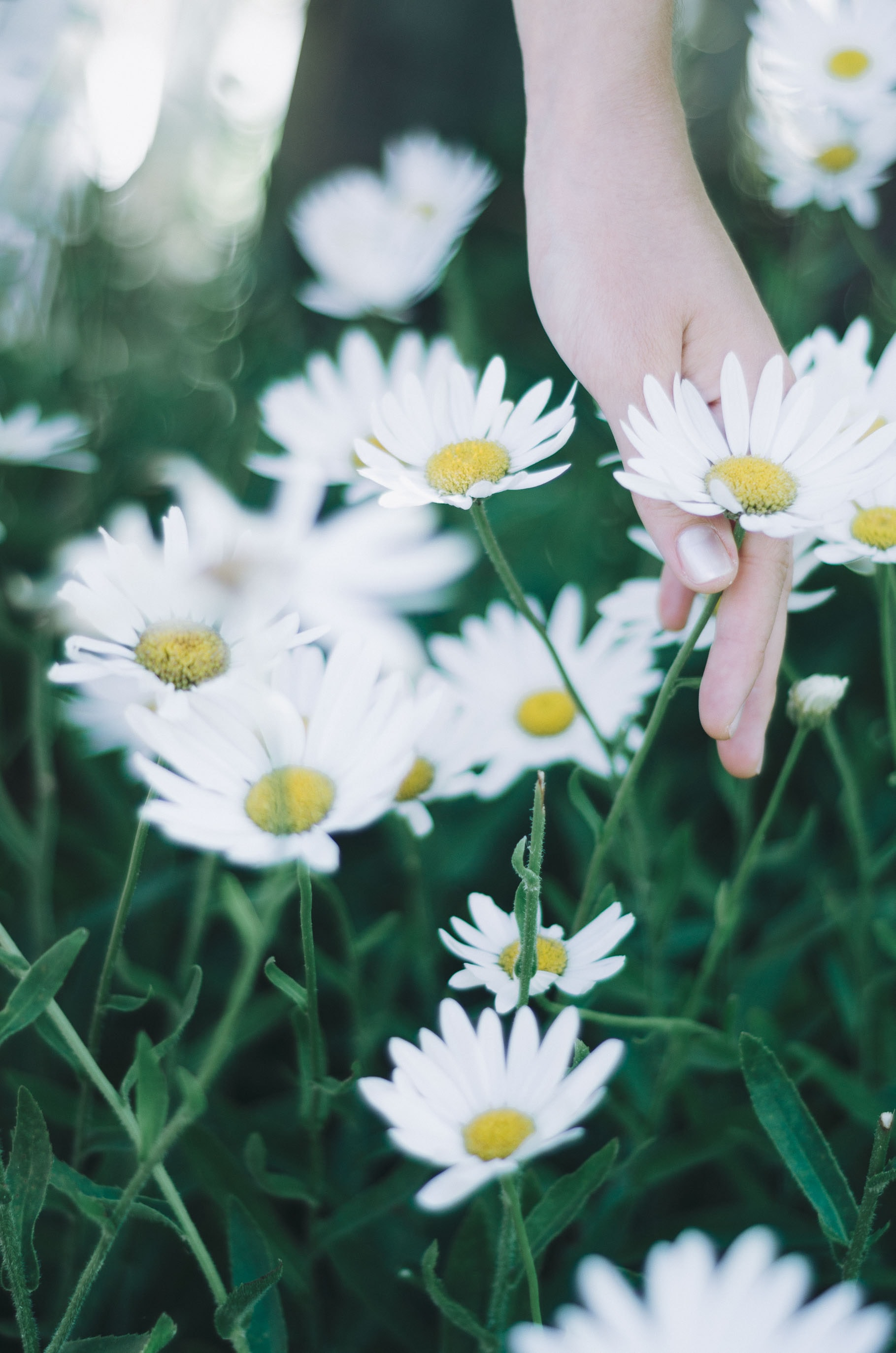 person holding daisy flowers