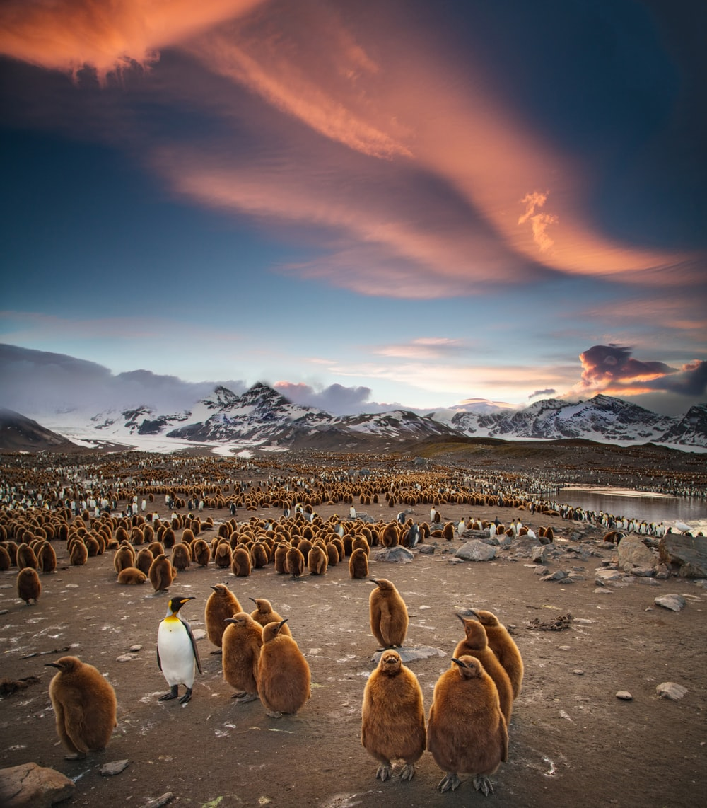 flock of penguins