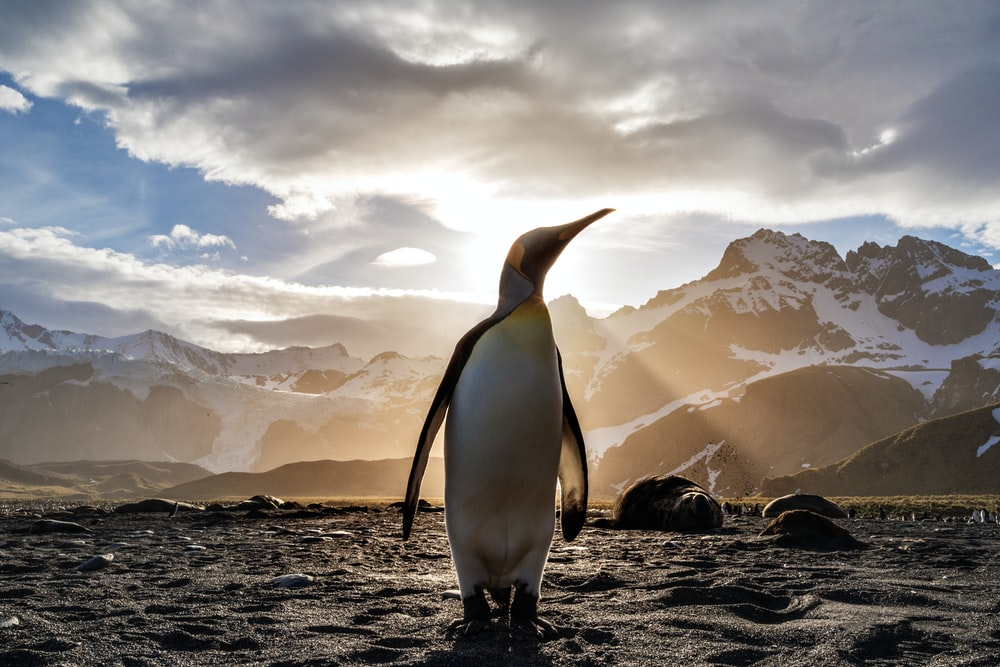 standing penguin on sand near snow covered mountain covering the sun from view at daytime