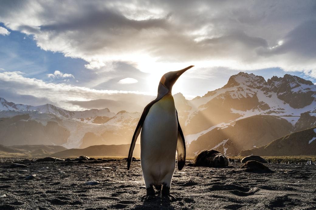 King Penguin Backlit by Setting Sun
