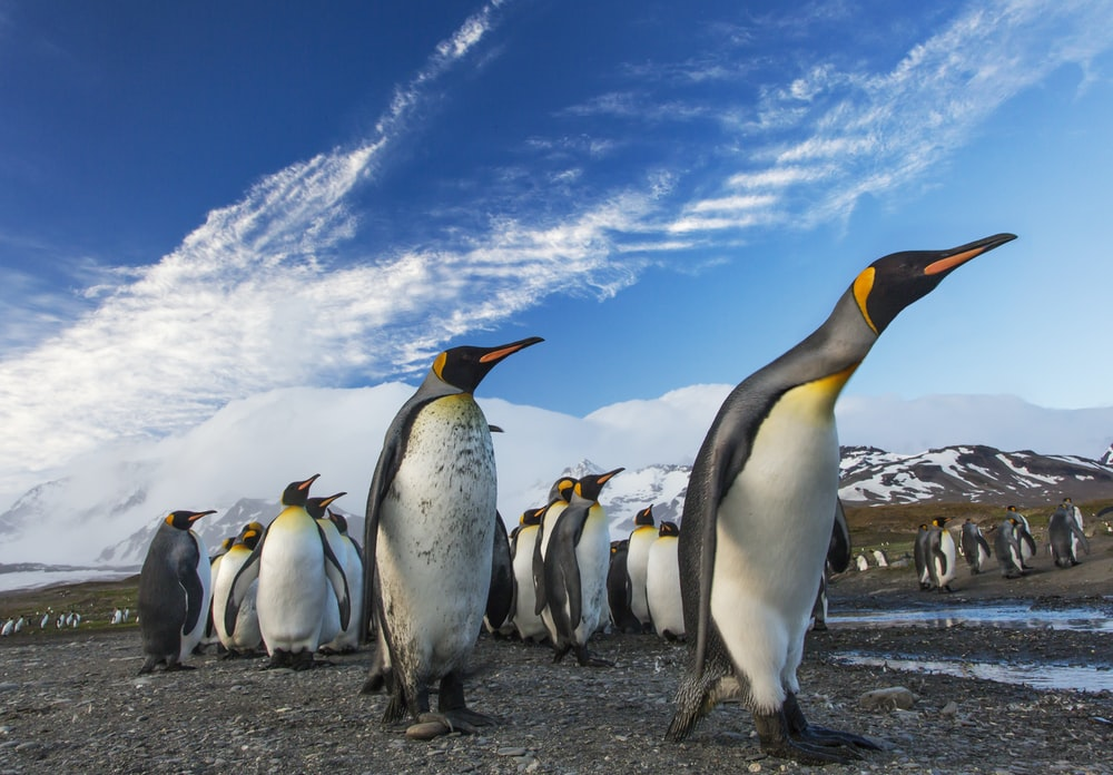 group of penguin