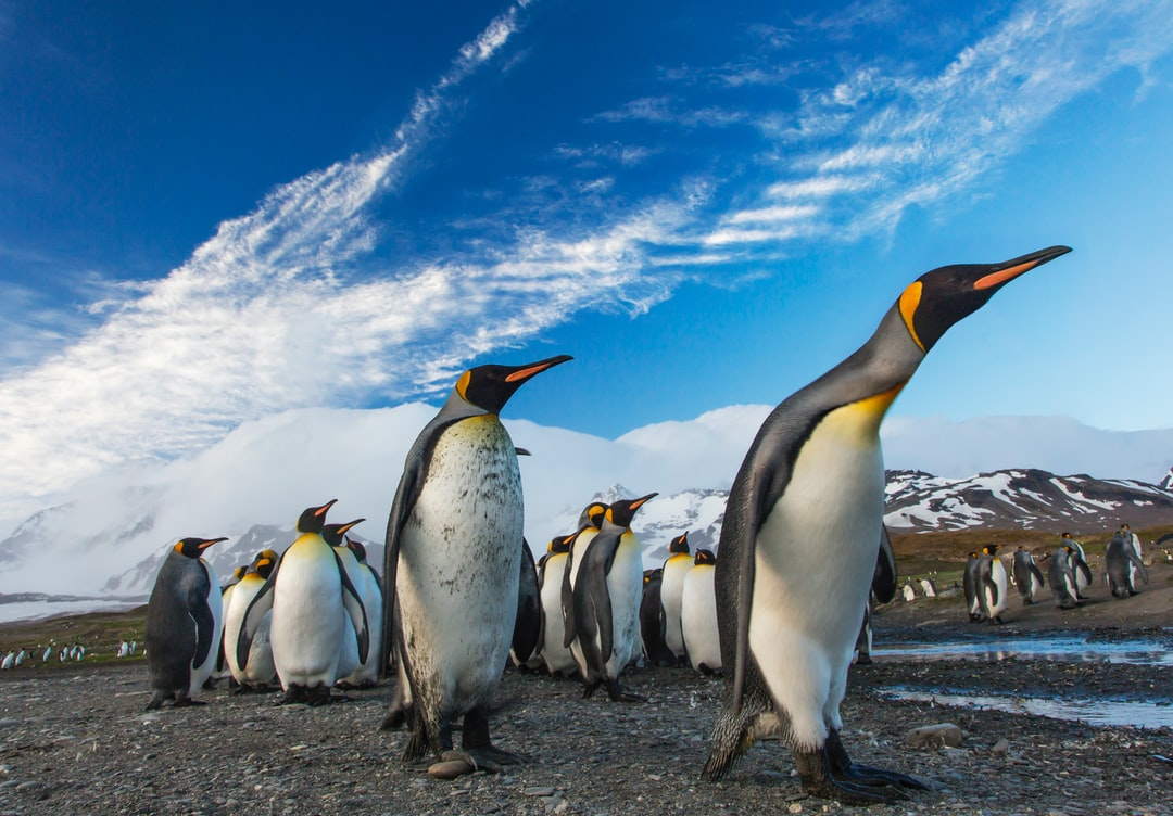 King penguin procession