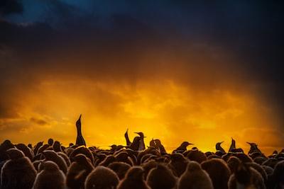 King penguins silhouetted against sunrise sky