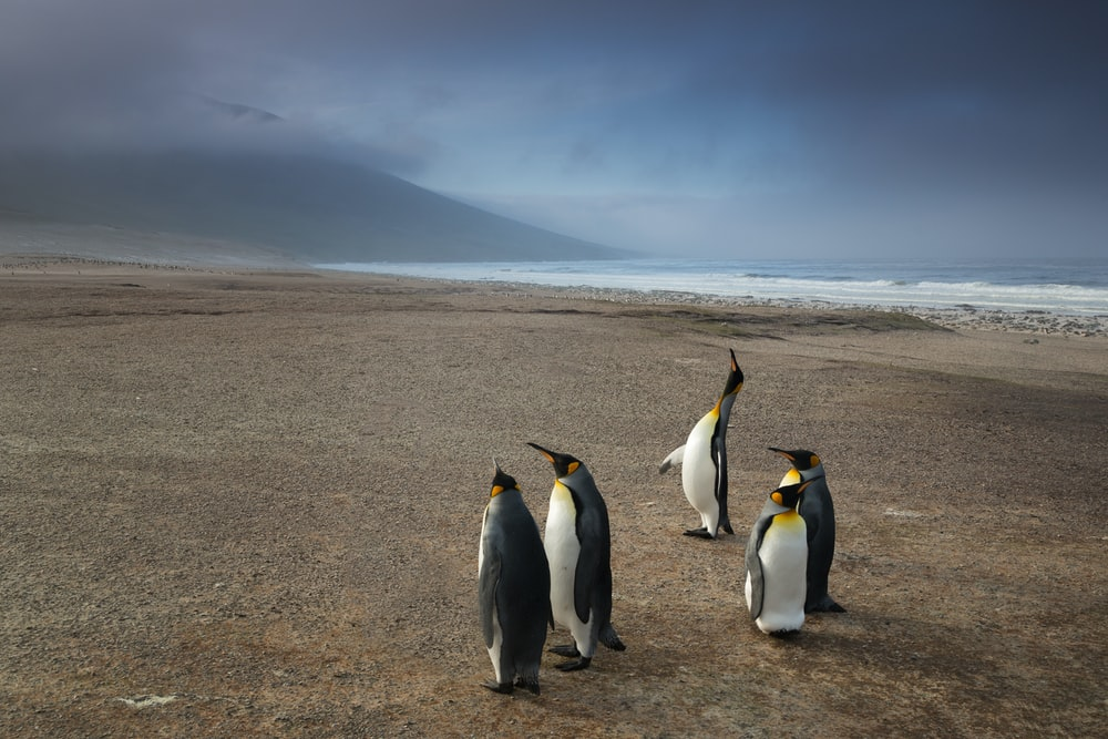 five penguins on brown sand near body of water photo