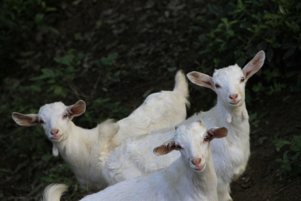 three white goat standing between green grass