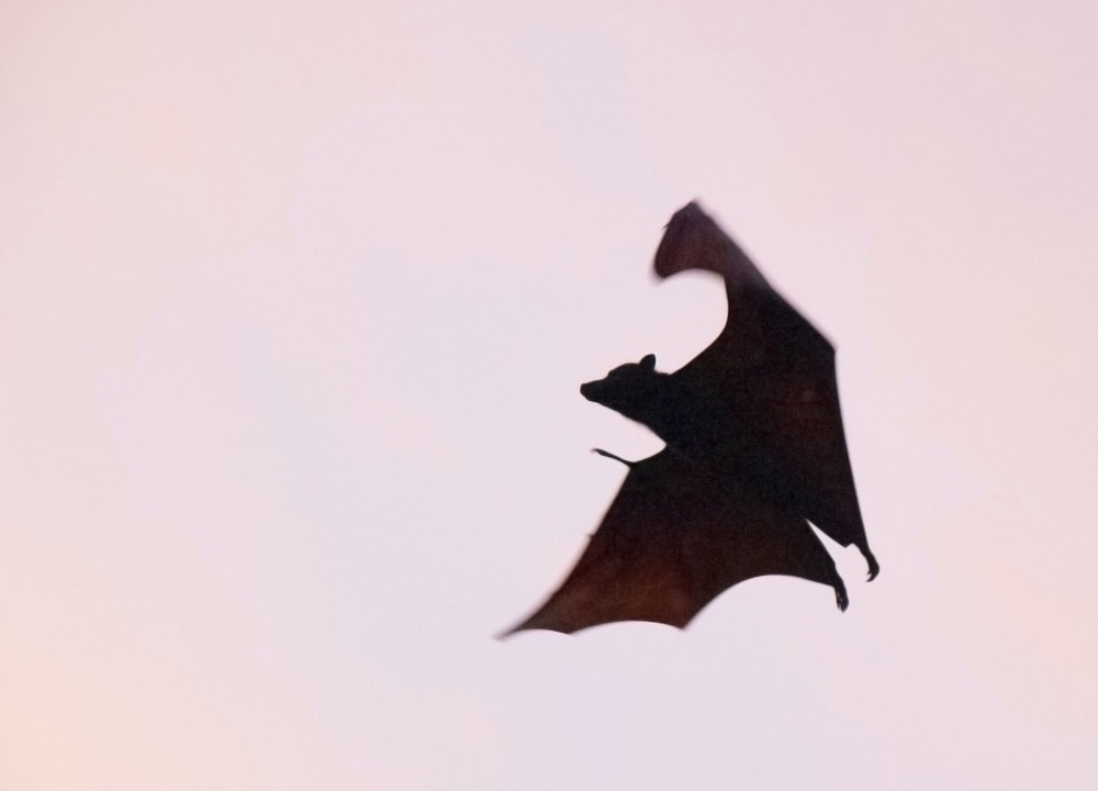brown bat flying