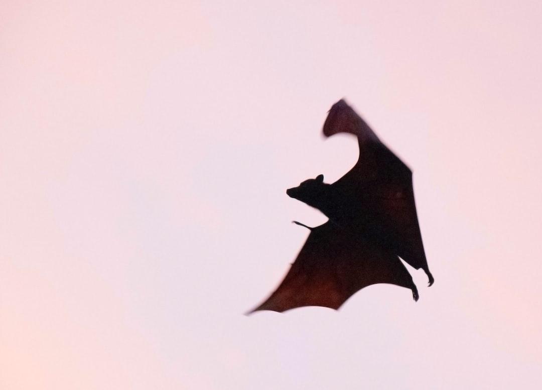 Taken at dusk as the bat was landing to forage on Palau Pramuka in Kepulauan seribu (Thousand Islands) Indonesia, December 2017