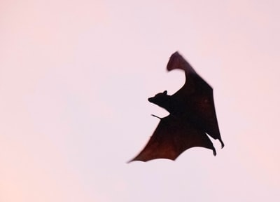 Taken at dusk as the bat was landing to forage on Palau Pramuka in Kepulauan seribu (Thousand Islands) Indonesia, December 2017