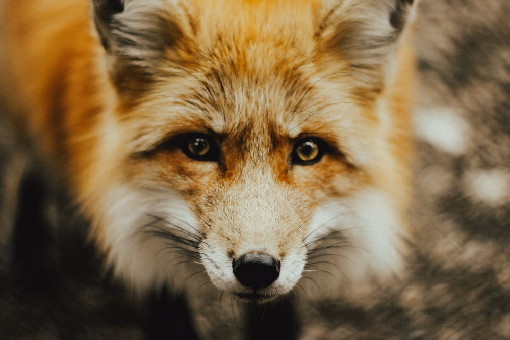 focus photography of brown fox