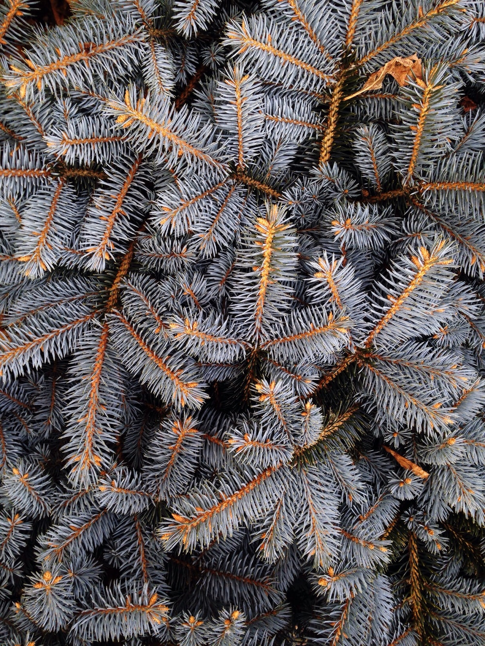 fill the frame photograph of grey pine tree leaves