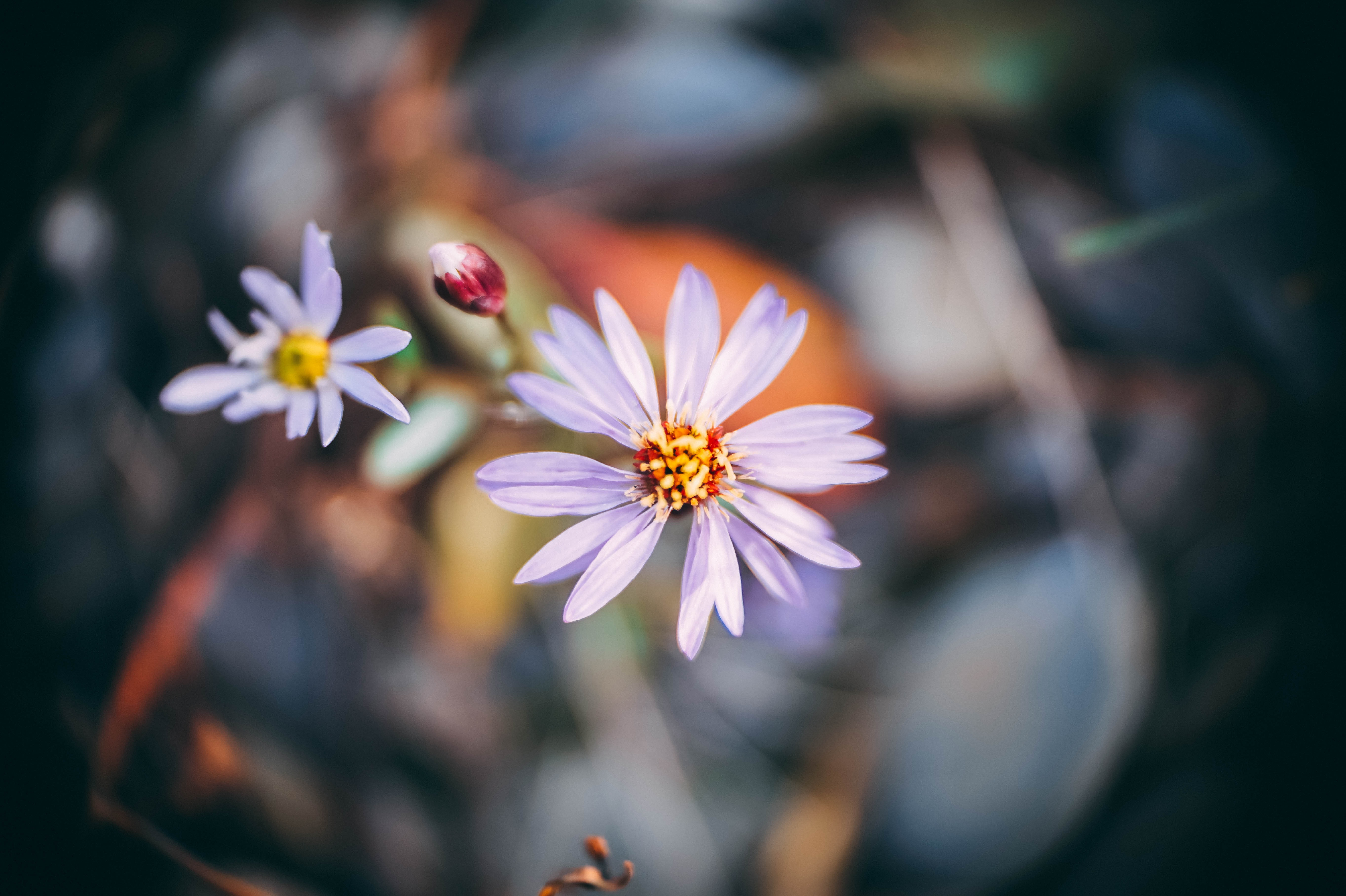 shallow focus photography of white daisies