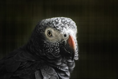 shallow focus photography of African grey parrot