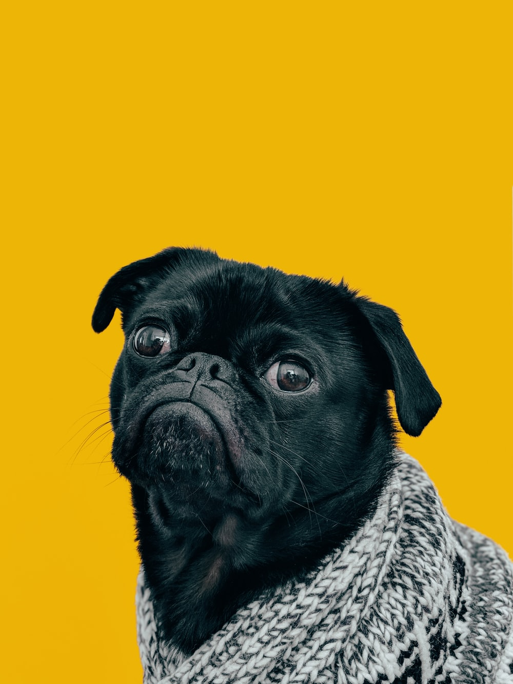 black pug with gray knit scarf