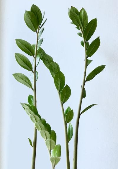 green leaf rubber plants