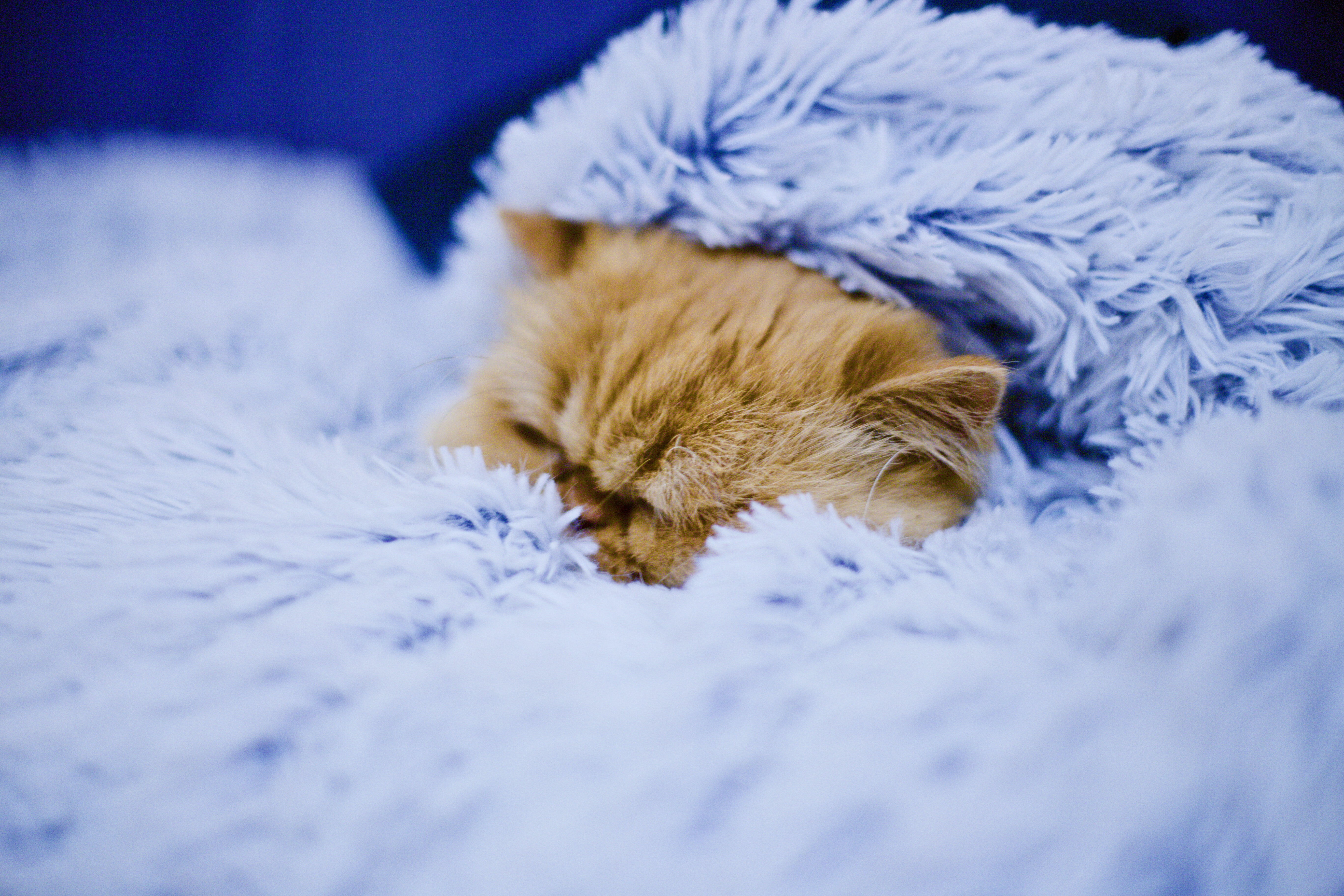 orange tabby cat covered blue blanket