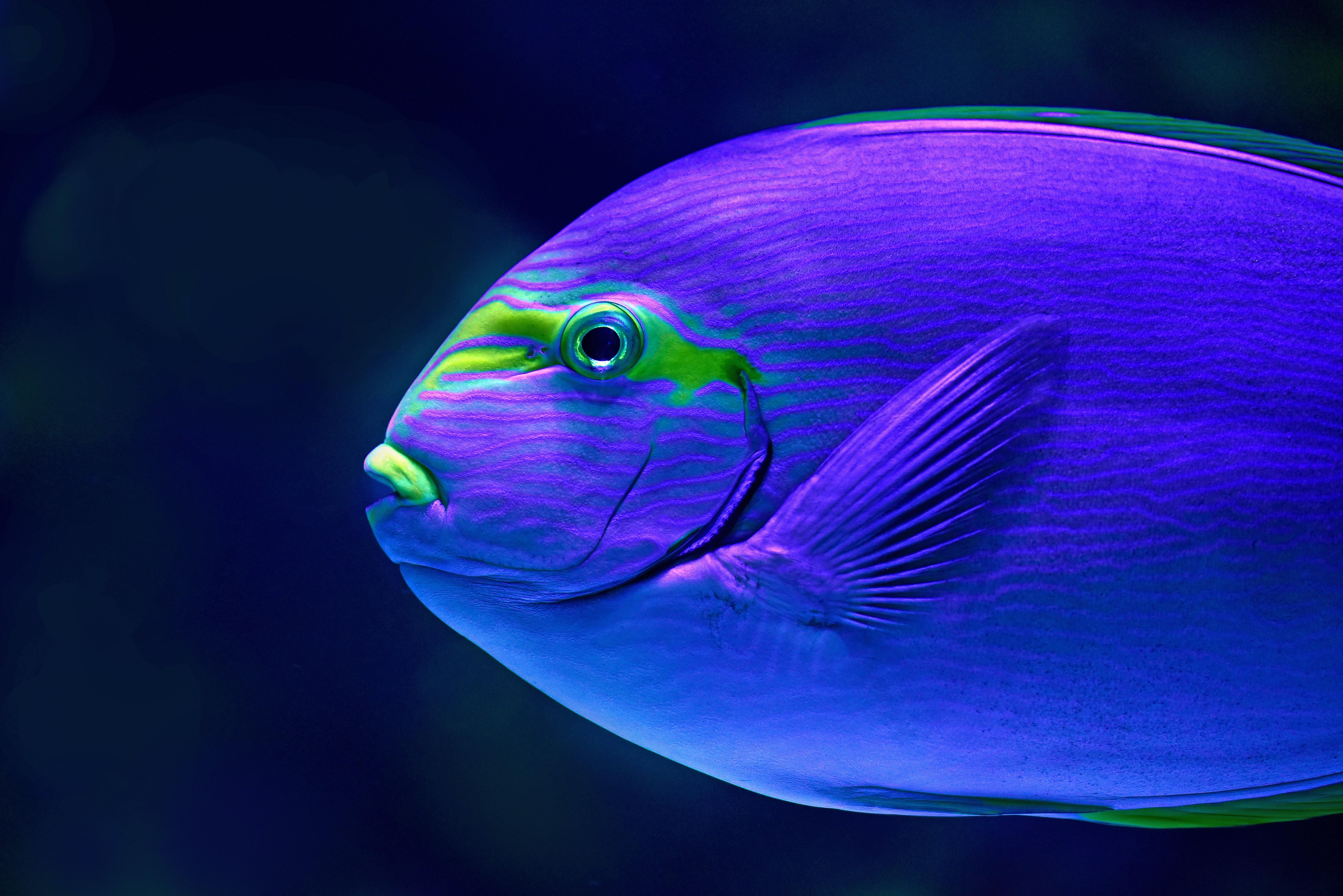 close-up photo of blue fish