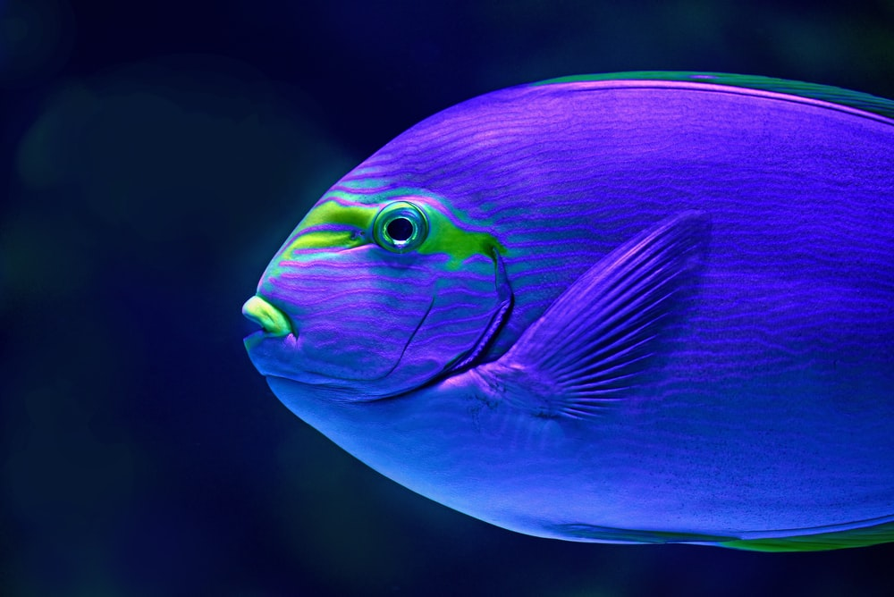 close-up photo of blue fish