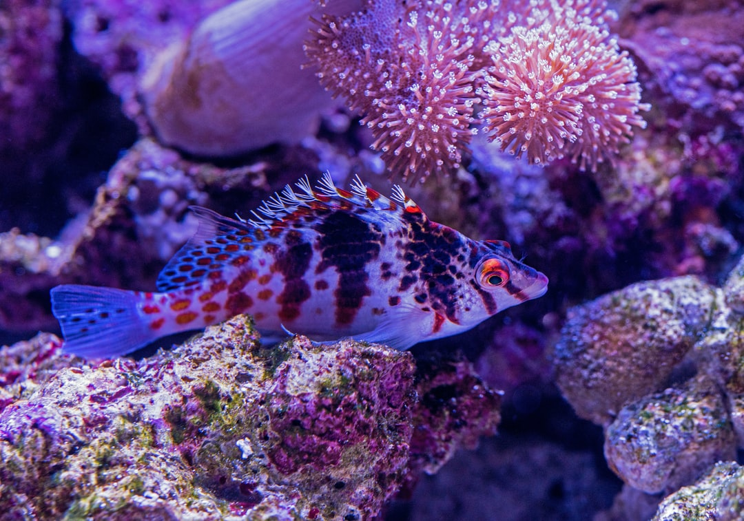 A pretty little Hawkfish hides among the coral in the Cairns Aquarium.