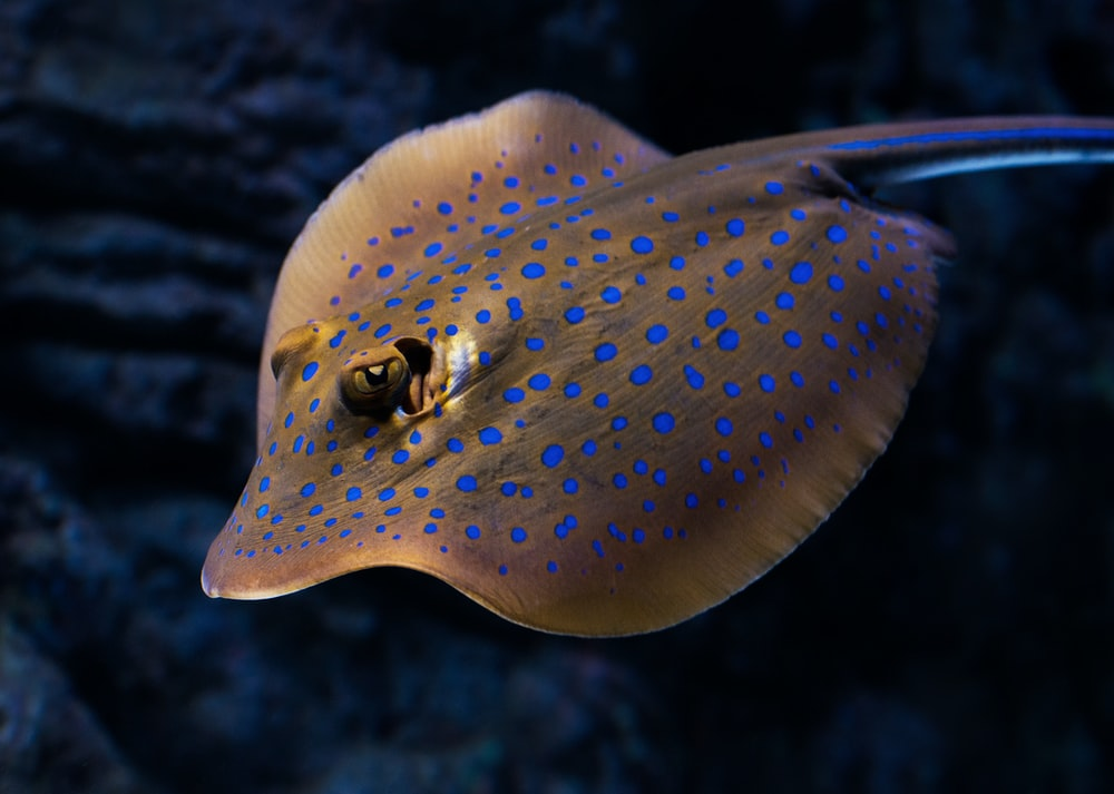 closeup photo of brown and blue stingray