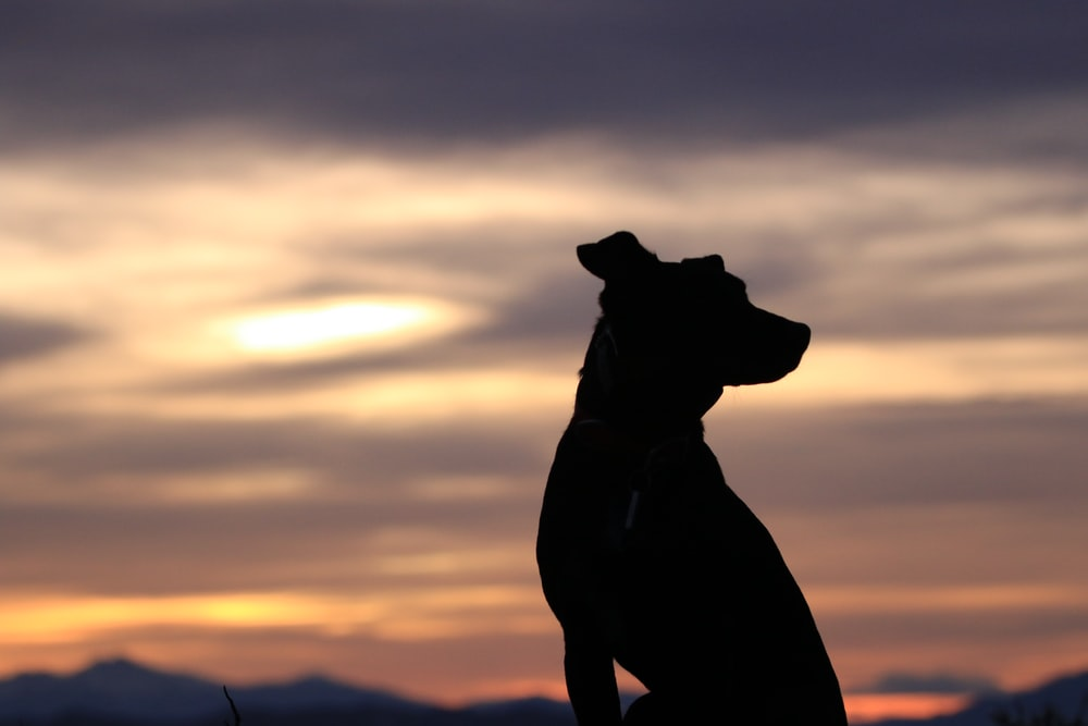 silhouette of dog sitting at sunset