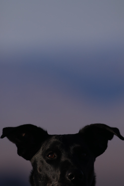 adult short-coated black dog selective focus photography