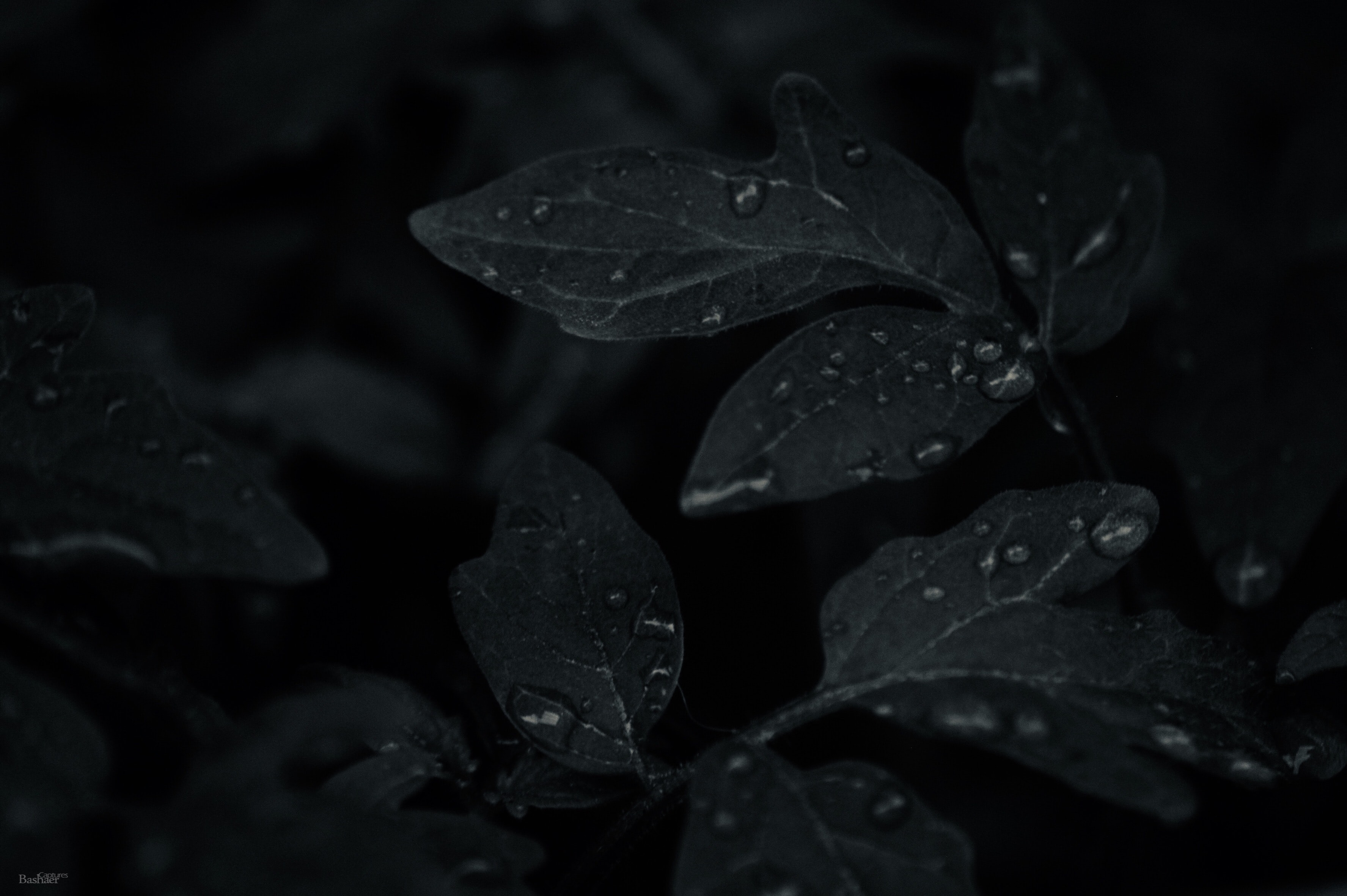 low light photo of dew drops on leaves