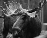 grayscale photo of moose