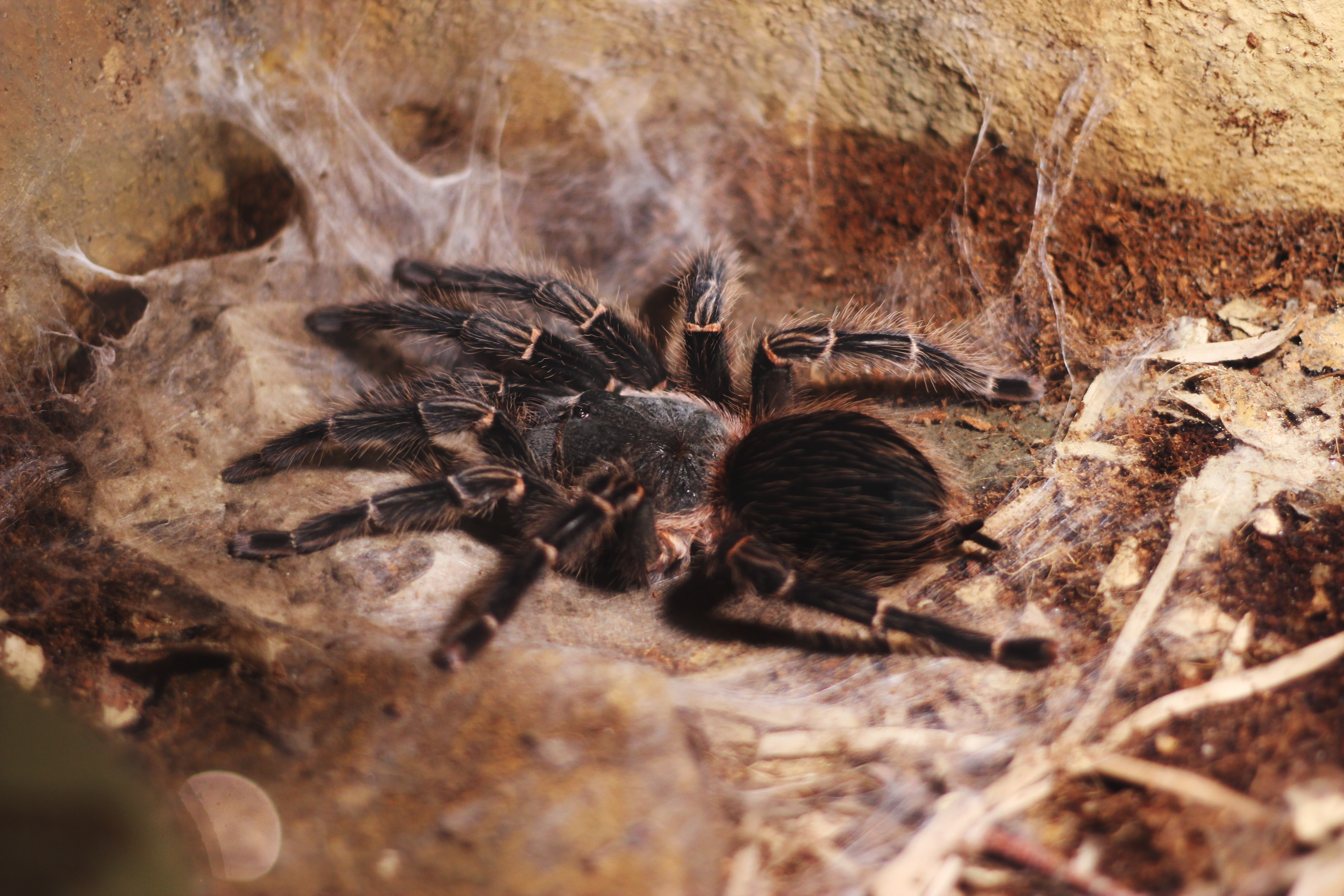 post-molt Grammostola pulchripes stretching on web