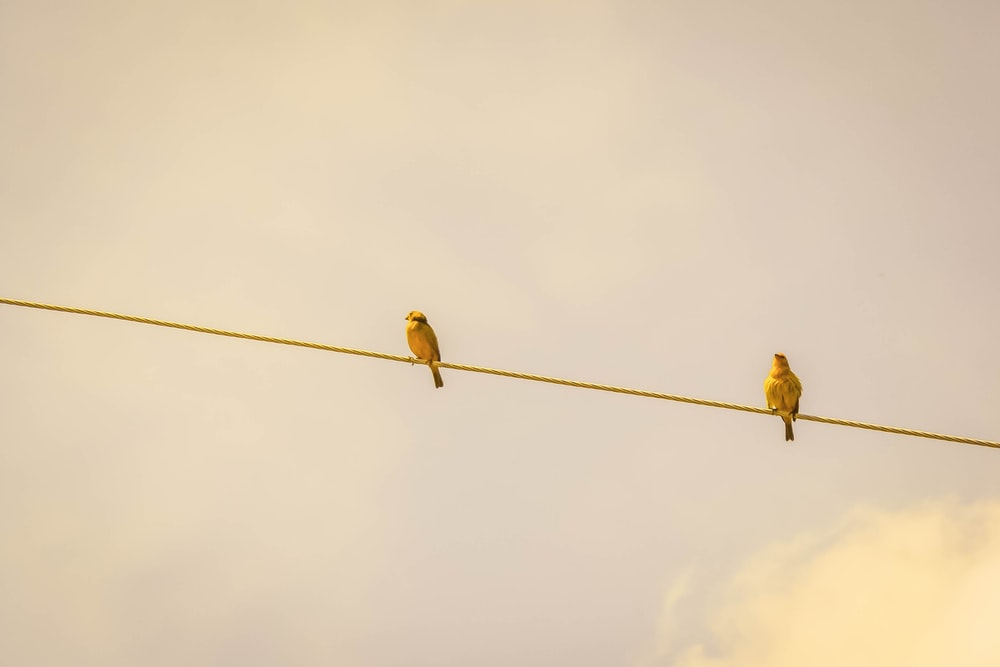 two yellow birds on string