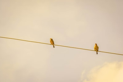 two yellow birds on string brown zoom background