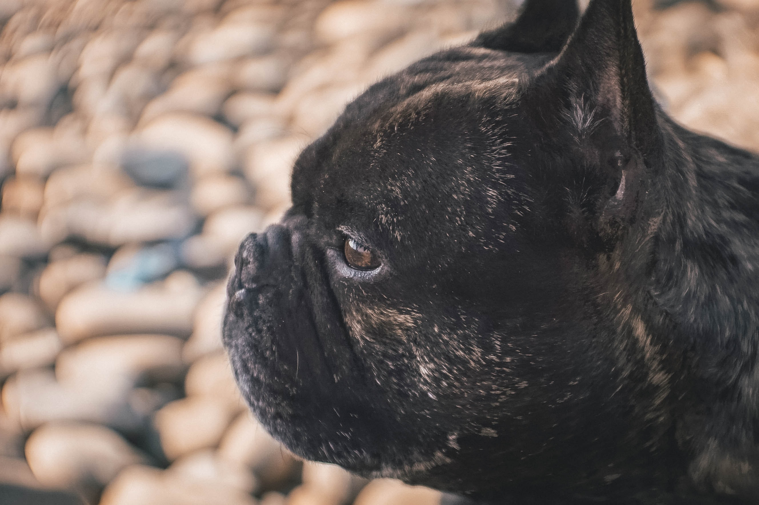 selective focus photography of black pug