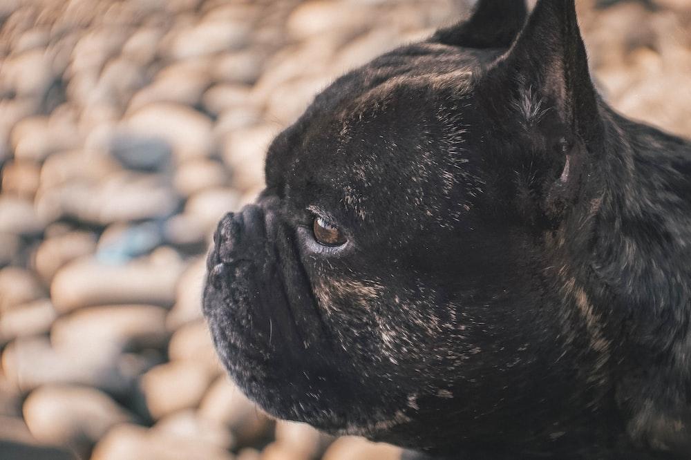 selective focus photography of black pug