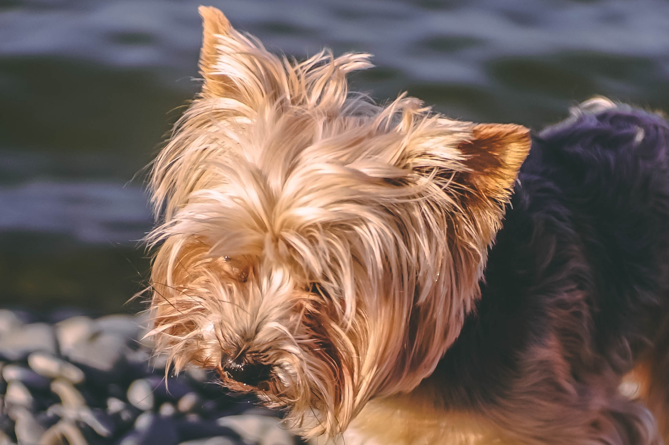 brown and black Yorkshire terrier standing on seashore
