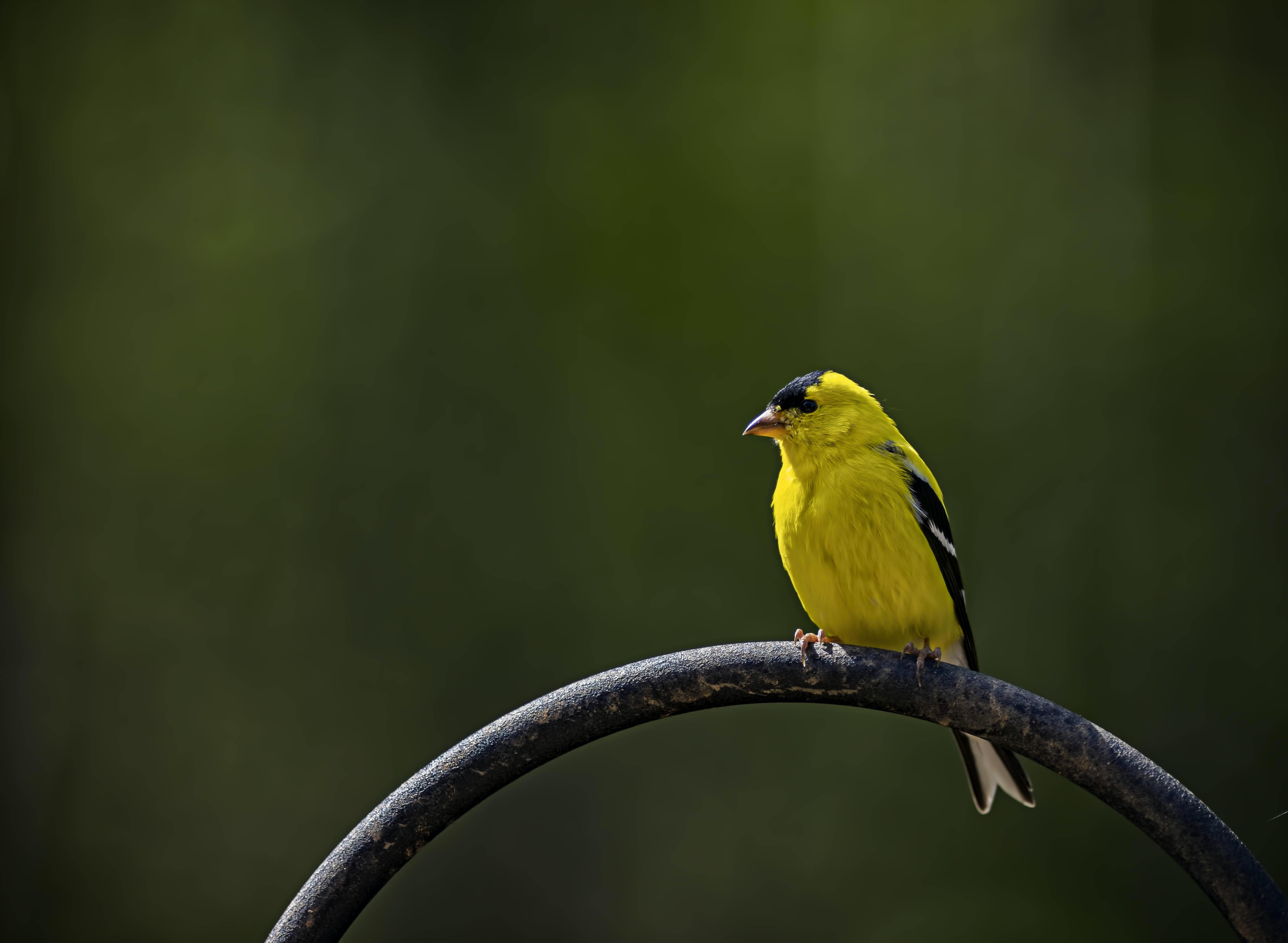yellow bird standing on the branch
