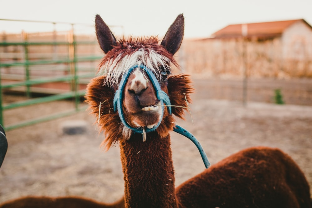 brown alpaca with blue leather muzzle inside pen at daytime
